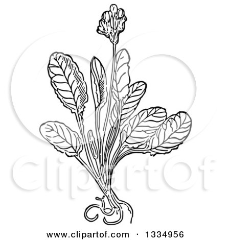 Clipart of a Black and White Woodcut Herbal Cowslip Plant - Royalty Free Vector Illustration by Picsburg