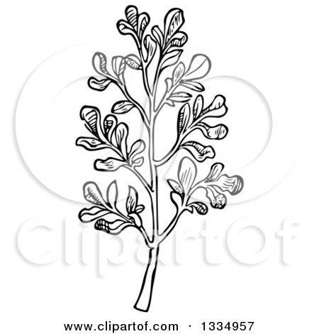 Clipart of a Black and White Woodcut Herbal Rue Plant - Royalty Free Vector Illustration by Picsburg