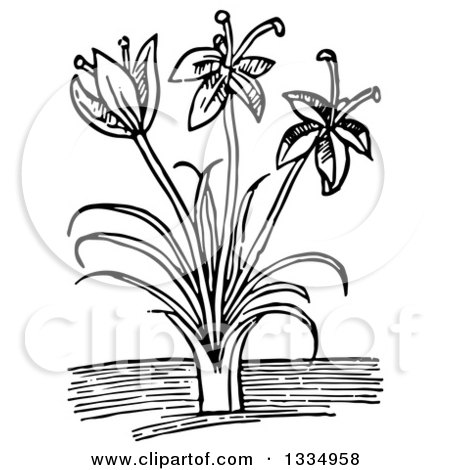 Clipart of a Black and White Woodcut Herbal Saffron Crocus Plant - Royalty Free Vector Illustration by Picsburg