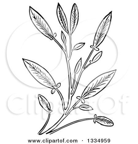 Clipart of a Black and White Woodcut Herbal Sage Plant - Royalty Free Vector Illustration by Picsburg