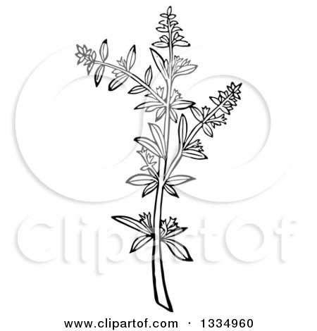 Clipart of a Black and White Woodcut Herbal Savory Plant - Royalty Free Vector Illustration by Picsburg