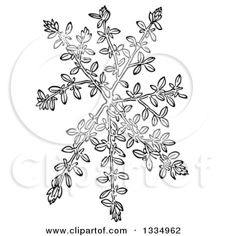 Clipart of a Black and White Woodcut Herbal Thyme Plant - Royalty Free Vector Illustration by Picsburg