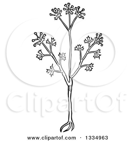 Clipart of a Black and White Woodcut Herbal Anise Plant - Royalty Free Vector Illustration by Picsburg