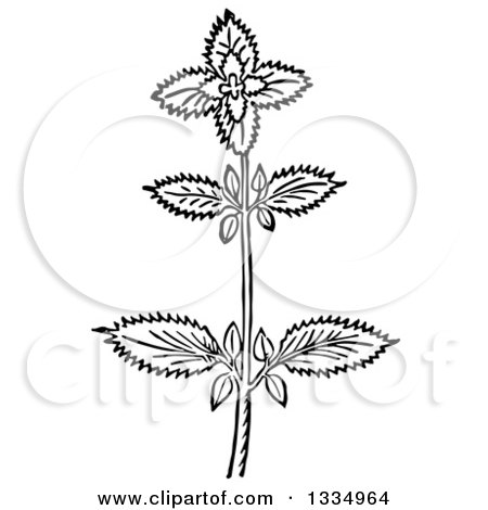 Clipart of a Black and White Woodcut Herbal Basil Plant - Royalty Free Vector Illustration by Picsburg