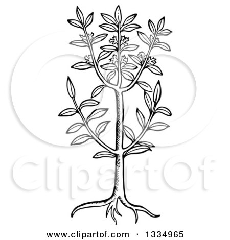 Clipart of a Black and White Woodcut Herbal Sweet Bay Plant - Royalty Free Vector Illustration by Picsburg