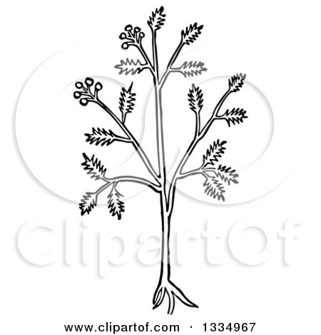 Clipart of a Black and White Woodcut Herbal Caraway Persian Cumin Plant - Royalty Free Vector Illustration by Picsburg