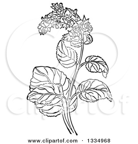 Clipart of a Black and White Woodcut Herbal Clary Sage Plant - Royalty Free Vector Illustration by Picsburg