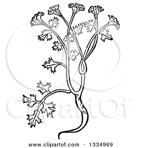 Clipart of a Black and White Woodcut Herbal Coriander Cilantro Plant - Royalty Free Vector Illustration by Picsburg