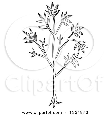 Clipart of a Black and White Woodcut Herbal Cumin Plant - Royalty Free Vector Illustration by Picsburg