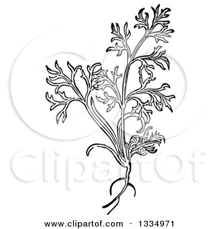 Clipart of a Black and White Woodcut Herbal Dill Plant - Royalty Free Vector Illustration by Picsburg