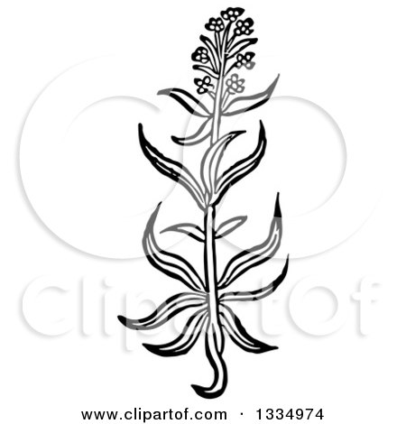 Clipart of a Black and White Woodcut Herbal Hyssop Plant - Royalty Free Vector Illustration by Picsburg