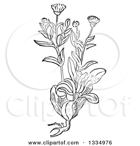 Clipart of a Black and White Woodcut Herbal Marigold Plant - Royalty Free Vector Illustration by Picsburg