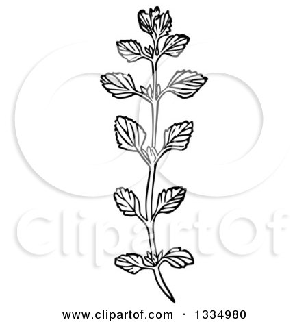Clipart of a Black and White Woodcut Herbal Medicinal Lemon Balm Plant - Royalty Free Vector Illustration by Picsburg