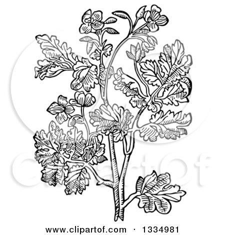 Clipart of a Black and White Woodcut Herbal Medicinal Celandine Plant - Royalty Free Vector Illustration by Picsburg