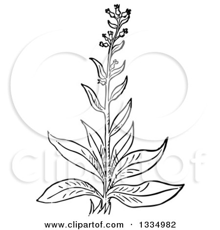 Clipart of a Black and White Woodcut Herbal Medicinal Bugloss Plant - Royalty Free Vector Illustration by Picsburg