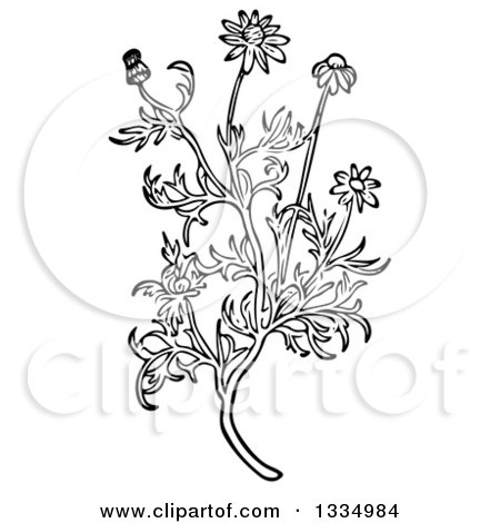 Clipart of a Black and White Woodcut Herbal Medicinal Chamomile Plant - Royalty Free Vector Illustration by Picsburg