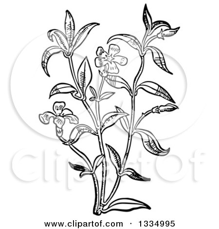 Clipart of a Black and White Woodcut Herbal Medicinal Periwinkle Plant - Royalty Free Vector Illustration by Picsburg