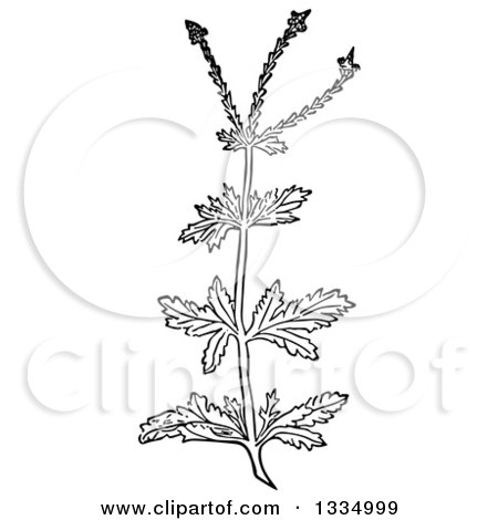 Clipart of a Black and White Woodcut Herbal Medicinal Vervain Verbena Plant - Royalty Free Vector Illustration by Picsburg