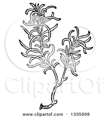 Clipart of a Black and White Woodcut Aromatic Culinary Herbal Rosemary Plant - Royalty Free Vector Illustration by Picsburg