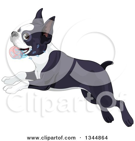 Cute Boston Terrier Dog Drooling and Running to the Left Posters, Art Prints