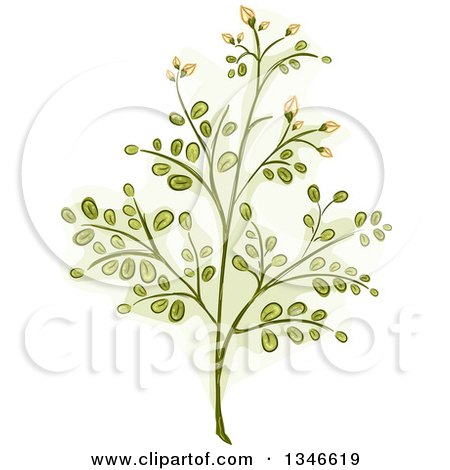 Clipart of a Moringa Plant Branch - Royalty Free Vector Illustration by BNP Design Studio