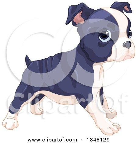 Cute Boston Terrier or French Bulldog Puppy Standing, Facing Right Posters, Art Prints