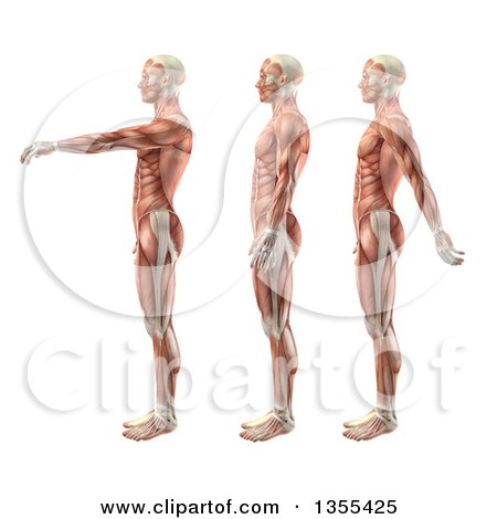 Clipart of a 3d Anatomical Man with Visible Muscles ... Shoulder Flexion And Extension Hyperextension