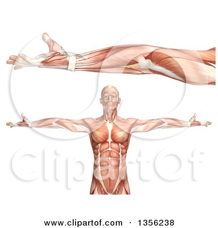 Clipart of a 3d Anatomical Man with Visible Muscles, Showing Elbow ...