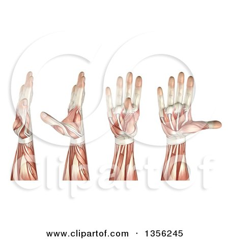 Clipart of a 3d Anatomical Man with Visible Muscles, Showing Thumb Abduction, Adduction, Extension and Flexion, on a White Background - Royalty Free Illustration by KJ Pargeter