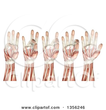 Clipart of a 3d Anatomical Man with Visible Muscles, Showing the Showing Thumb Touching Each Finger, on a White Background - Royalty Free Illustration by KJ Pargeter