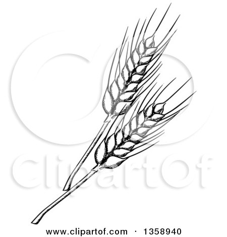 Clipart of Black and White Sketched Wheat Royalty Free