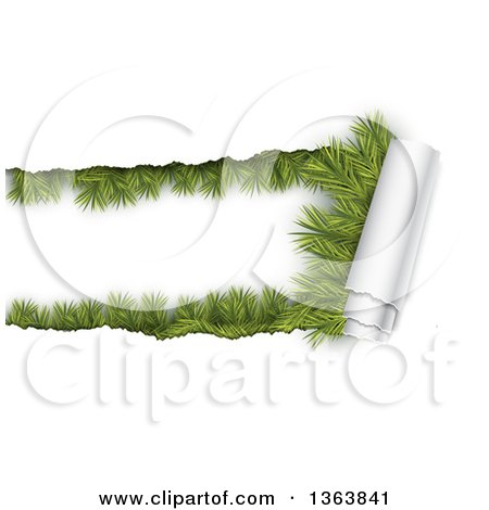 Clipart of a Background of Torn Curnling Paper Revealing Fir Branches - Royalty Free Vector Illustration by vectorace