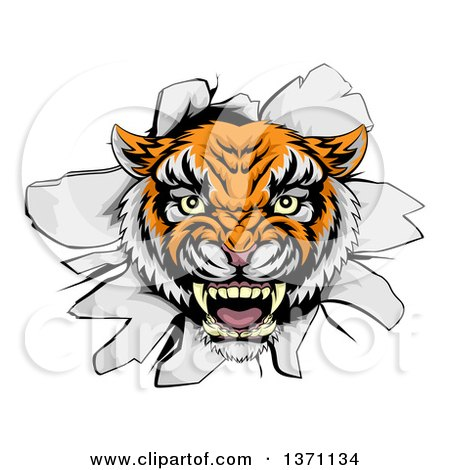 Clipart of a Mad Tiger Mascot Head Breaking Through a Wall - Royalty Free Vector Illustration by AtStockIllustration