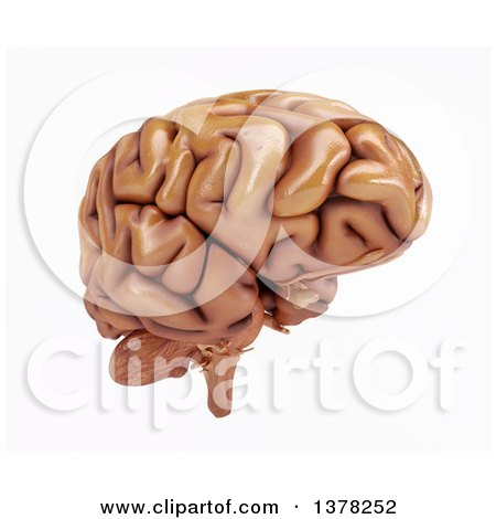 Clipart of a 3d Human Brain, on a White Background - Royalty Free Illustration by KJ Pargeter