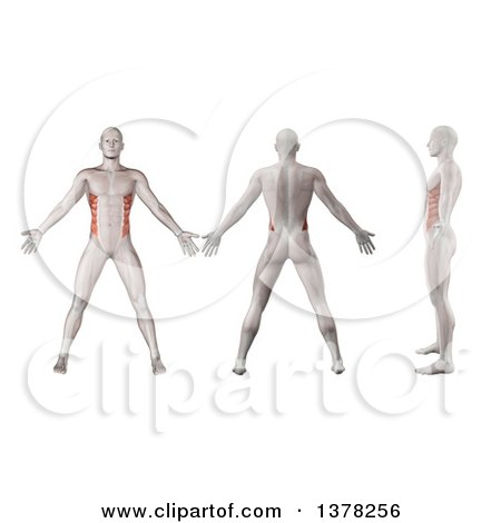 Clipart of a 3d Anatomical Men Shown with Visible External Oblique Muscles, Back Side and in Profile, on a White Background - Royalty Free Illustration by KJ Pargeter
