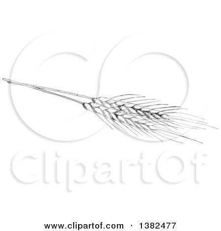 Clipart of a Black and White Sketched Wheat - Royalty Free Vector Illustration by Vector Tradition SM