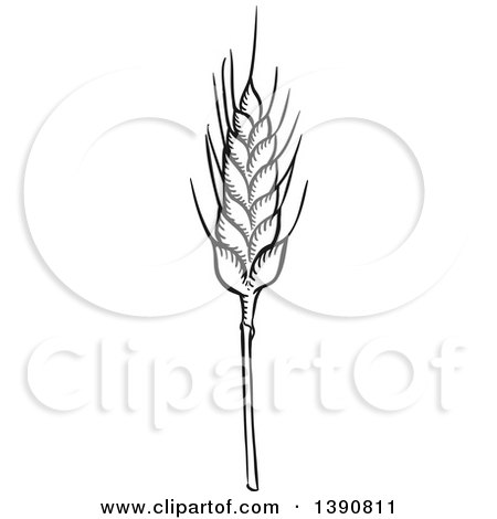 Clipart of a Sketched Dark Gray Wheat Stalk - Royalty Free Vector Illustration by Vector Tradition SM