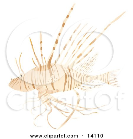 Lionfish, AKA the Turkey Fish or Dragon Fish Over a White Background Wildlife Clipart Illustration by Rasmussen Images
