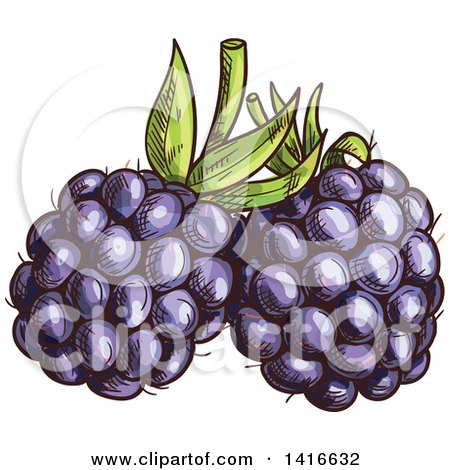 Clipart of Sketched Blackberries - Royalty Free Vector Illustration by Vector Tradition SM