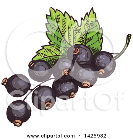 Clipart of Sketched Black Currants - Royalty Free Vector Illustration by Vector Tradition SM
