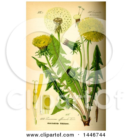 Common Dandelion (Taraxacum Officinale) Posters, Art Prints