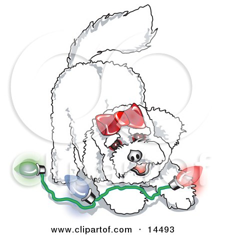 Bichon Frise Dog Playing With Colorful Christmas Lights Clipart Illustration by Andy Nortnik