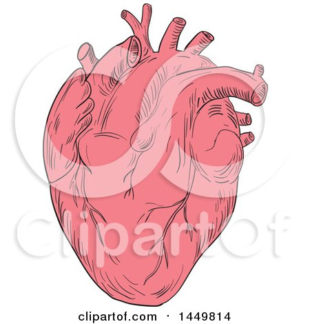 Clipart Graphic of a Sketched Drawing Styled Human Heart - Royalty Free Vector Illustration by patrimonio