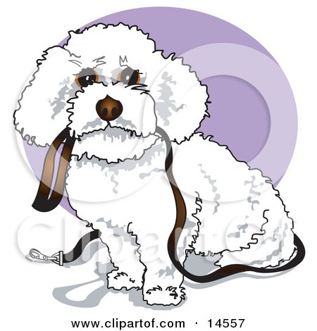 Cute White Bichon Frise Dog Carrying a Leash in its Mouth and Begging to be Walked Clipart Illustration by Andy Nortnik