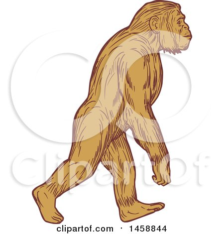 Clipart of a Homo Habilis Walking Upright, in Sketched Drawing Style - Royalty Free Vector Illustration by patrimonio