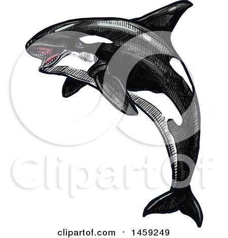 Clipart of a Sketched Orca Killer Whale - Royalty Free Vector Illustration by Vector Tradition SM