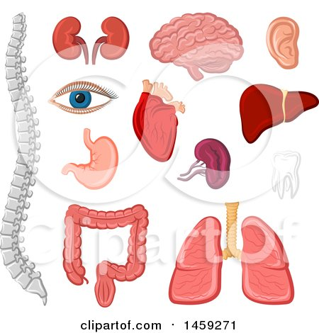 Clipart of Human Organs and Body Parts - Royalty Free Vector Illustration by Vector Tradition SM