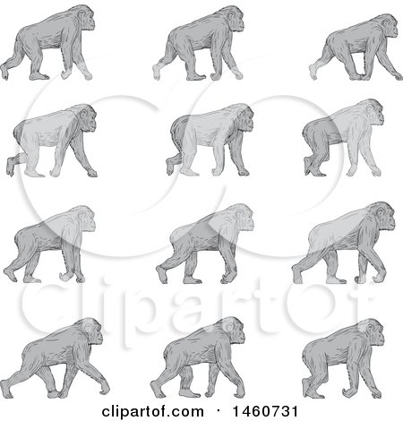 Clipart of a Set of a Chimpanzee Walking in Sketched Drawing Style - Royalty Free Vector Illustration by patrimonio
