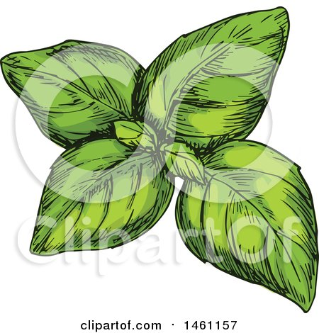 Clipart of Sketched Green Basil - Royalty Free Vector Illustration by Vector Tradition SM