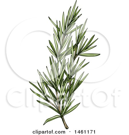 Clipart of a Sketched Rosemary Sprig - Royalty Free Vector Illustration by Vector Tradition SM